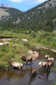 Elk, Rocky Mountain National Park, Colorado
