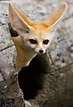 fennac fox... Maybe Athena is part this...