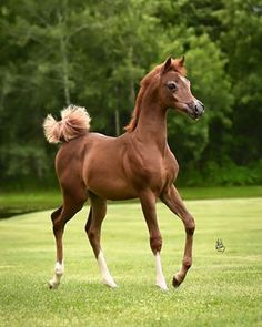 Adorable Chestnut Arabian Foal. Its Tail is Something Else; Scrunched up Real Cute Like.