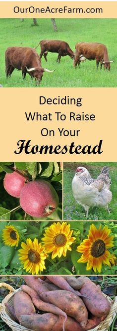 Deciding what to raise on your homestead or backyard farm involves taking inventory of your resources and yourself. This guides you through 15 critical considerations, such as climate, soil, existing ecosystems, lay of the land, storage space, market research, what you like to eat,  and your own ability to deal with livestock illness, injury, and death. Plenty of resources and photos!