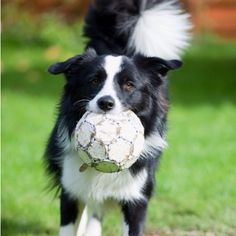 Border Collie Trying out Soccer.