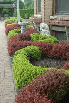 Berberis twist   coll for my house