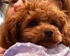 Rosie Adeline, or toy poodle puppy