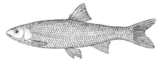 Leuciscus leuciscus