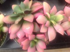 """Succulent Plant Anacampseros """"Sunrise"""" beautiful colorful plant. Soft pink to bright fuchsia with emerald green. by SucculentBabies on Etsy https://www.etsy.com/listing/129485437/succulent-plant-anacampseros-sunrise"""