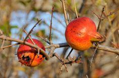Pomegranate ...  agriculture, antioxidant, autumn, branch, dainty, dessert, food, fresh, fruit, garden, grenadine, jewish, juicy, nature, organic, pomegranate, red, religion, ripe, sky, sweet, symbol, tasty, traditional, tree, tropical, two, vegetarian, wild