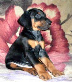 http://www.best-dog-photos.com Awhhh so cute.. Doberman puppy #dobermanpinscher