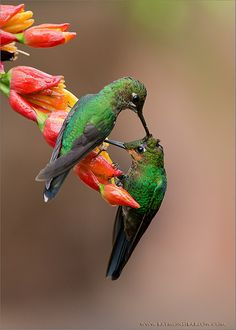 Green Crowned Brilliant-hummingbirds