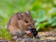 Mice - kidcyber