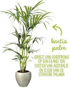 Grote kamerplanten top 10 - Intratuin