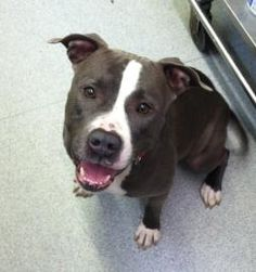 Look at this cute face! Does this look like the face of evil to you? No, I didn't think so. Stop misunderstanding pitbulls!