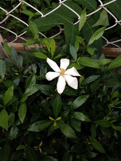 Common gardenia