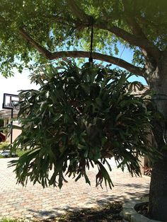 Staghorn Fern - I love these in baskets!