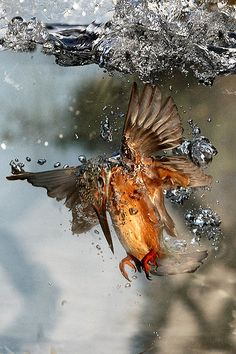 Kingfisher underwater 2 | Explore Ady G.'s photos on Flickr.… | Flickr - Photo Sharing!