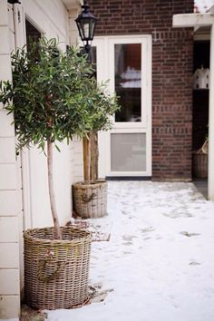 Olive trees in a basket Garden Care, Balcony Garden, Garden Pots, Back Gardens, Outdoor Gardens, Garden Makeover, Paint Colors For Living Room, Plantar, Plantation