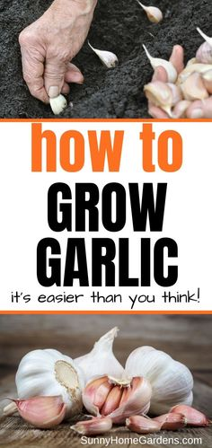 If you want to grow garlic from cloves in your backyard garden, check out these tips and advice. Growing garlic can be easy. How to Grow Garlic from Cloves Backyard Vegetable Gardens, Container Gardening Vegetables, Greenhouse Vegetables, Succulent Containers, Garden Container, Container Flowers, Garlic Seeds, Grow Garlic, Growing Garlic From Cloves
