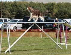 As dog owners aren't we often amazed at the dexterity and agility as we watch our dogs play and run in our backyards. Most dogs are born with a certain natural ability to run and jump and turn on a dime! In the world of dog agility however, we ask our dogs not only to run, jump and turn fast, but to