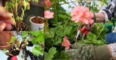 Így kell átteleltetni a muskátlit, hogy tavasszal ismét virágba boruljon Herbs, Plants, Life, Herb, Planters, Plant, Spice, Planting