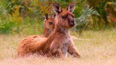 Fantastic wildlife video of Koalas, Echidnas, Kangaroos & Sea Lions on Kangaroo Island (Australia's 3rd largest island) - South Australia - (Lonely Planet travel video).