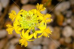 intricate yellow flower - A lovely ornate yellow flower with small flowers surrounding the outside with feather-like centers, protecting the yellow and green petals in the center of the entire flower.