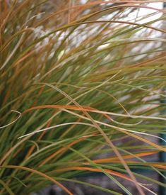 Carex testacea, new zealand hair sedge, orange sedge, ornamental grasses, ornamental grass Perennial Grasses, Ornamental Grasses, Perennials, Agave Blue Glow, Coral Bells Heuchera, Prairie Fire, Edging Plants, Easy Care Plants, Landscape Design Plans