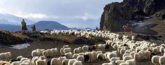 Icelandic sheep - Icelandic horse