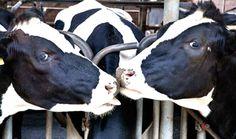 Idahoans Protest Proposed University-Run Dairy Farm