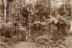 An image of Tree ferns, Katoomba by William Livermore, Star Photo Co., Sydney