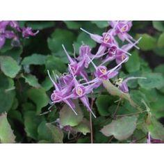 JAPANSK SOCKBLOMMA 1-PACK (Epimedium grandiflorum 'Lilafee') Trivs i näringsrik, humusrik, fuktig men väldränerad jord. Mycket intressant och bra marktäckare. Bladen är hjärtformade och vackert rödgröna. Blommar med lila blommor med egendomlig form i maj-juni. Höjd 25 cm. HSK-SKU. PRIS/ 1-PACK (2014)