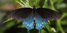 This Man Repopulated a Rare Butterfly Species in His Own Backyard