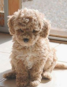 Lagotto romagnolo puppy Tosca 10 weeks old. Animalia