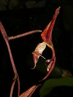 Gongora claviodora | por Daniel Mclaren .:. Costa Rica