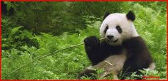 According to legend, the panda was once an all-white bear. When a small girl tried to save a panda cub from being attacked by a leopard, the leopard killed the girl instead. Pandas came to her funeral wearing armbands of black ashes. As they wiped their eyes, hugged each other, and covered the ears, they smudged the black ashes.