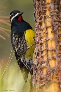 Pica-Pau-Sugador-de-Seiva-de-Williamson ----------------------------------- ( Sphyrapicus thyroideus ) ------------- ( Macho ) - No século XVIII a fêmea desta espécie era considerada como sendo uma outra especie devido a grande diferença visual entre os sexos. Norte dos Estados Unidos e México