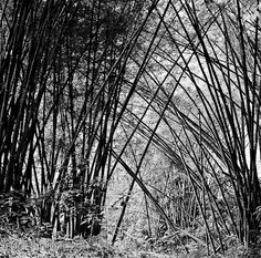 Bamboo Cultural Significance, Fast Growing Plants, Building Materials, My Father, Southeast Asia, Nom Nom, Bamboo, Black And White, World