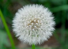 Taraxacum officinale is a large genus of flowering plants in the family Asteraceae.