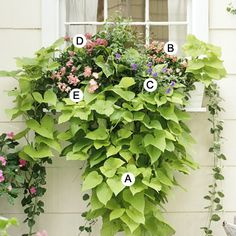 window box guides  A. Sweet potato vine (Ipomoea batatas 'Margarita') -- 2  B. Snapdragon (Antirrhinum 'Floral Showers Rose Pink') -- 2  C. Browallia 'Blue Bell' -- 1  D. Pentas 'Graffiti Pink' -- 1  E. Snapdragon (Antirrhinum 'Floral Showers Apricot') -- 1