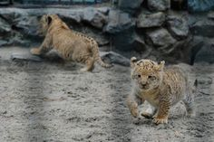 li-liger? Cubs of a lion dad and a liger mom.