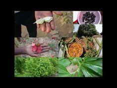 Medicinal Rice P5O Formulations for Phalaris Excess: Pankaj Oudhia's Med...