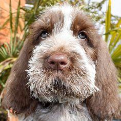 Brown Roan Italian Spinone Puppy Dog Head Shot