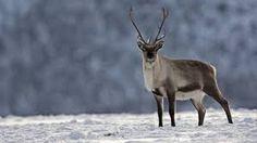reinsdyr - Google-søk Kangaroo, Moose, Animals, Elk, Animales, Animaux, Animal, Kangaroos, Animais