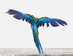 Flying macaw photo by Sharon Montrose of The Animal Print Shop...