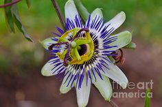 http://fineartamerica.com/featured/the-passion-flower-garden-janice-rae-pariza.html?newartwork=true