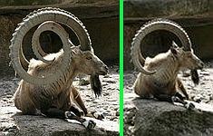 """Fake - """"Mutation"""" contest entry on FreakingNews - The real image is on the right. http://www.freakingnews.com/Spiral-Horned-Goat-Pictures-61422.asp"""