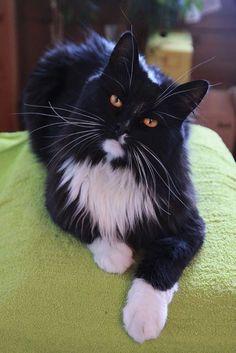 Tuxedo long hair cat                                                                                                                                                     More