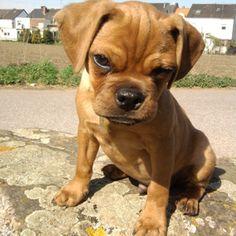 pug beagles and beagle mix on pinterest. Black Bedroom Furniture Sets. Home Design Ideas