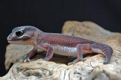 Nephrurus levis pilbarensis - patternless phase #lizards #geckos