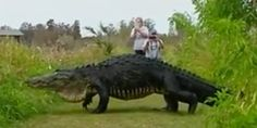 """Giant Gator Spotted At Nature Center! Giant Alligator Another """"damn nature, you scary"""" moment was caught on camera in Florida. A giant gator was filmed. Alligators, Godzilla, Puerto Rico, Rabbit Run, Walking Paths, Nature Center, Nature Reserve, Jurassic Park, Weekend Is Over"""
