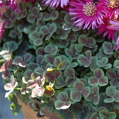 Fall Container Garden Ideas: White Clover and Asters in Bamboo Basket