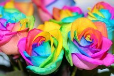 Rainbow Colored Roses - made by injecting the stems with natural dyes before the bush blooms.  Wish they grew this way from seed!!  :)